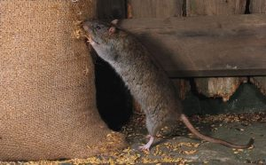Brown rat feeding from grain sack e1500668825522 300x186 - Dedetizadora no Tambore