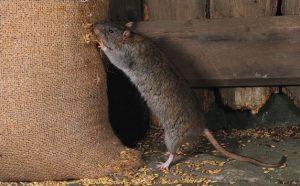 Brown rat feeding from grain sack e1500668825522 300x186 - Dedetizadora em Aldeia da Serra