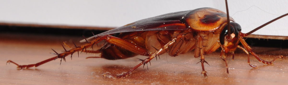 Cockroach close up right front - Dedetizadora em Alphaville