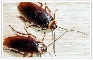 Cockroaches Control 300x193 - Dedetizadora em Carapicuíba