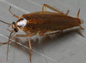 orkin roach closeup 480x286 e1500669080870 300x221 - Dedetizadora de Barata em Jandira